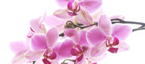 Orchid�