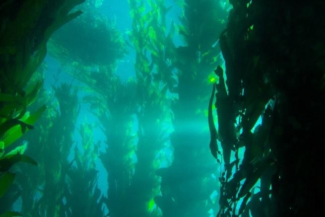 vad är kelp
